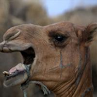 Ethiopian Desert Camel