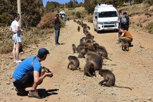 Ethiopia Gelada Baboons on the Road, EastAfricaTourOperator.net