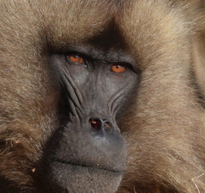 Ethiopia Gelada Baboons Photo Shooting, EastAfricaTourOperator.net