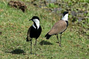 Ethiopia, Spur Winged Lapwing, EastAfricaTourOperator.net