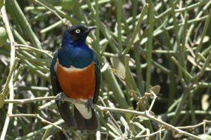 Ethiopia, Superb Starling, EastAfricaTourOperator.net