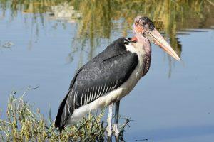 Ethiopia, Marabou Stork, EastAfricaTourOperator.net