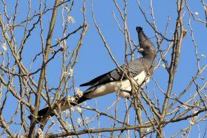 Ethiopia, White-bellied go-away-bird, EastAfricaTourOperator.net